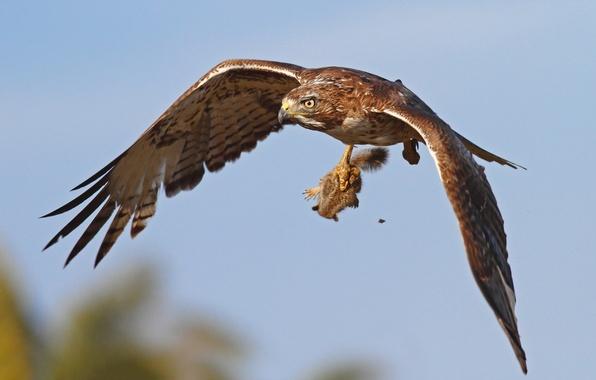 Картинка птица, охота, орёл