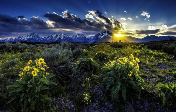 Картинка цветы, восход, рассвет, луг, Вайоминг, Wyoming, Гранд-Титон, Grand Teton National Park, Скалистые горы, Rocky Mountains, …