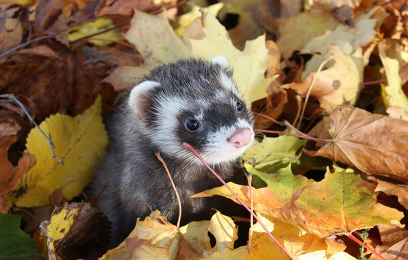 Фото обои Хорёк, мордочка, осень, листья, фретка