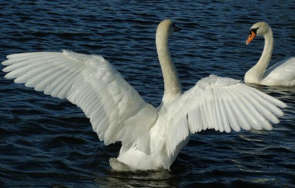Картинка вода, птицы, пруд, крылья, перья, пара, белые, лебеди, оперение
