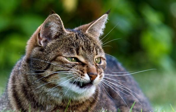Картинка зелень, кошка, трава, кот, усы, морда, клыки, злой, полосатый