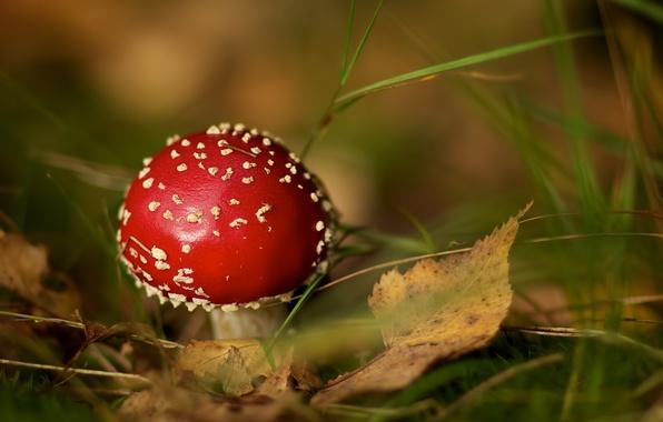 Картинка осень, трава, листья, гриб, мухомор, боке