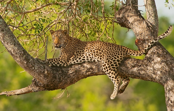 Картинка ветки, дерево, отдых, леопард, дикая кошка, на дереве