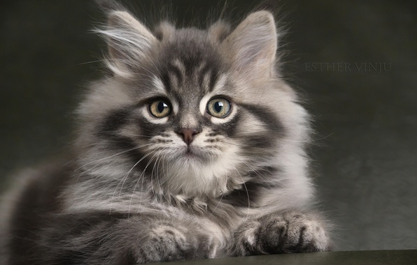 Картинка взгляд, серый, пушистый, малыш, котёнок