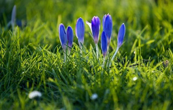 Картинка трава, макро, фокус, весна, лепестки, размытость, бутоны, синие, Крокусы