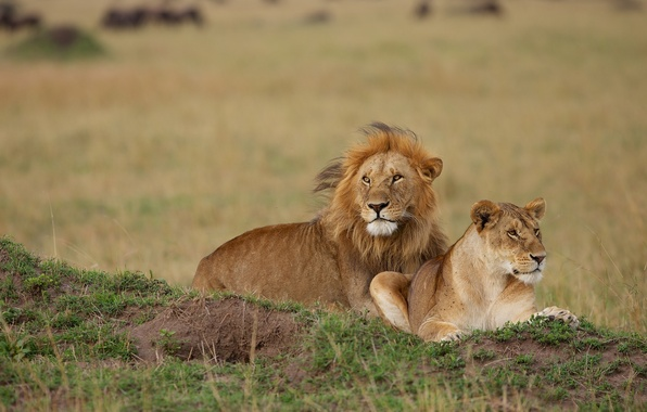 Картинка лев, парочка, львица