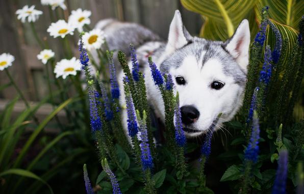 Картинка лето, морда, цветы, собака, сад, щенок, клумба, хаски, порода, сибирский хаски