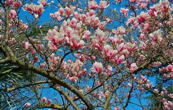 Картинка небо, дерево, весна, лепестки, магнолия