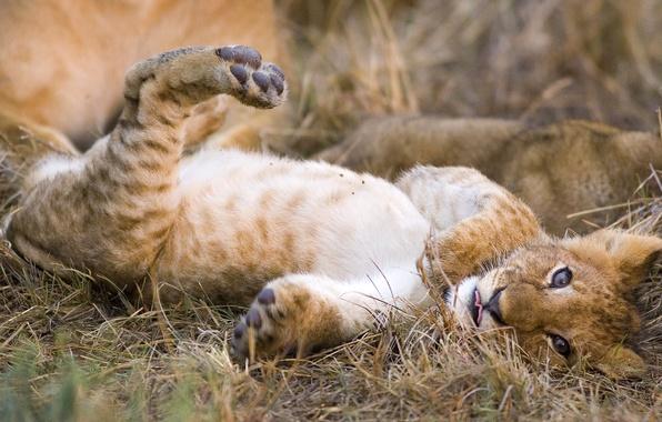 Картинка кошка, хищник, лев, львенок