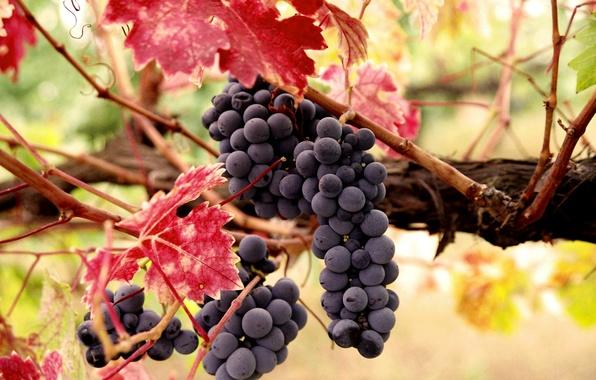 Картинка осень, листья, ягоды, урожай, плоды, виноград, лоза, грозь
