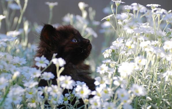 Картинка котенок, черный, ромашки, маленький, лужайка