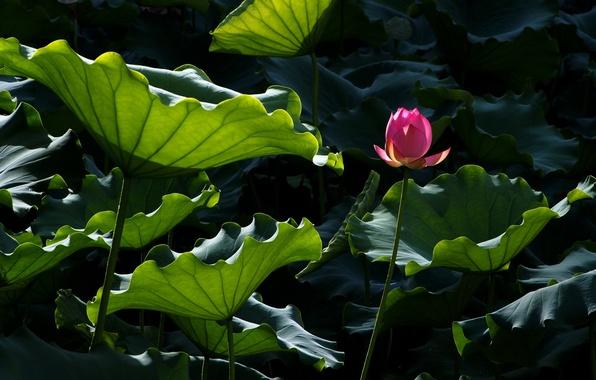 Картинка цветок, листья, вода, пруд, лотос, Lotus, flower, water, blossom, leaves, pound