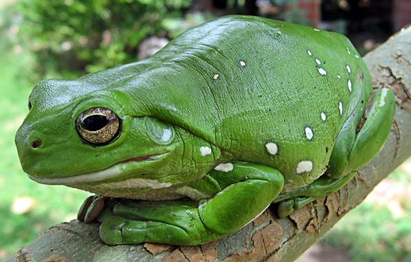 Фото обои лягушка, тропический лес, земноводное, Litoria