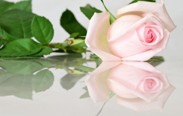 Картинка отражение, розовый, роза, бутон