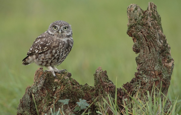 Картинка трава, взгляд, сова, птица, коряга