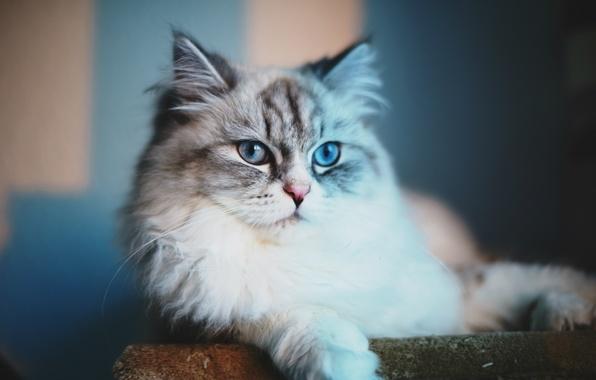 Картинка взгляд, Кот, голубые глаза, cat, blue eyes