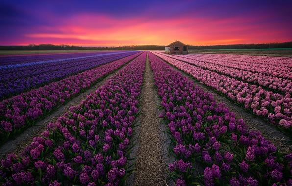 Картинка поле, закат, лаванды