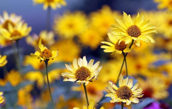 Картинка лето, цветы, желтые, размытость