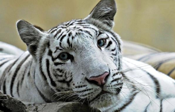 Картинка кошка, белый, глаза, тигр, фото, лев, голубые, помесь, лигр