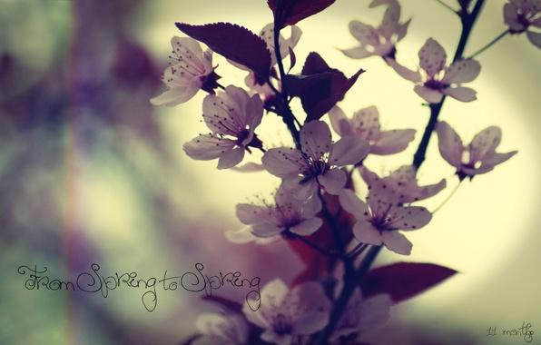 Картинка макро, цветы, надпись, весна, вишня или слива, from spring to spring