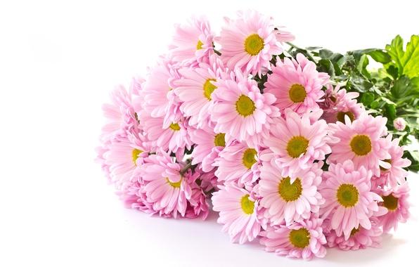 Нежный цветок хризантема
