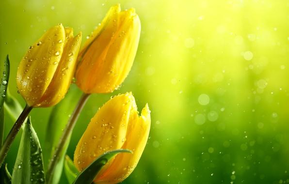 Картинка зелень, листья, вода, капли, блики, фон, желтые, тюльпаны, бутоны, мокрые, боке, крупным планом