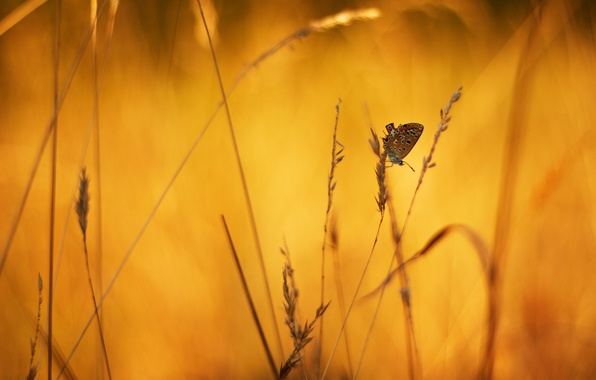 Картинка макро, фон, бабочка, колоски, травинки