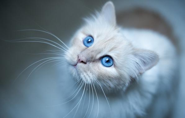 Картинка усы, взгляд, мордочка, голубые глаза, Бирманская кошка