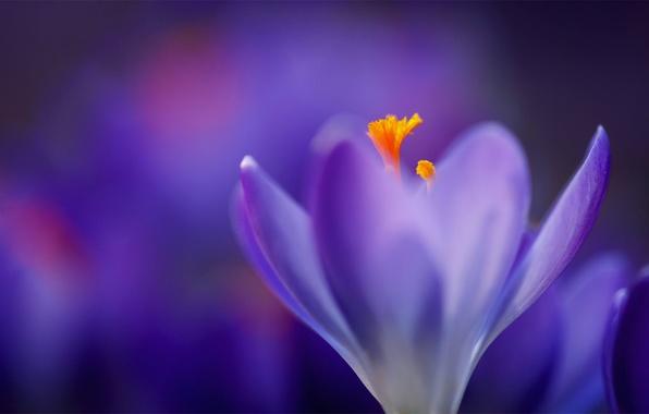 Картинка фиолетовый, макро, сиреневый, размытость, Крокус