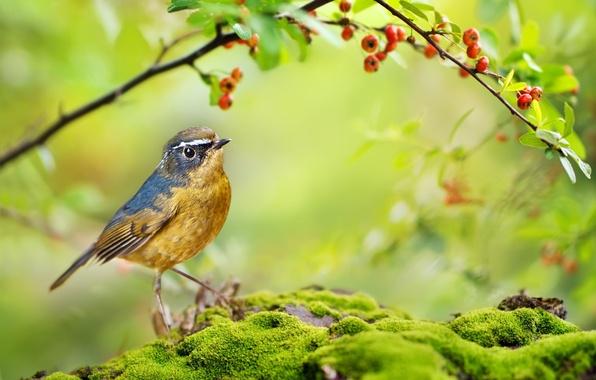 Картинка лето, природа, ягоды, птица, мох, ветка, белобровый соловей