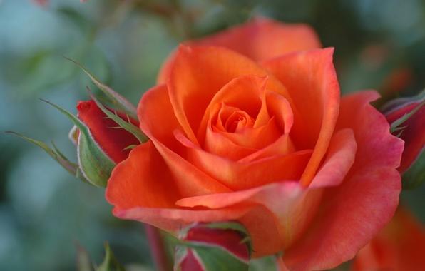 Картинка макро, роза, лепестки, бутоны, боке