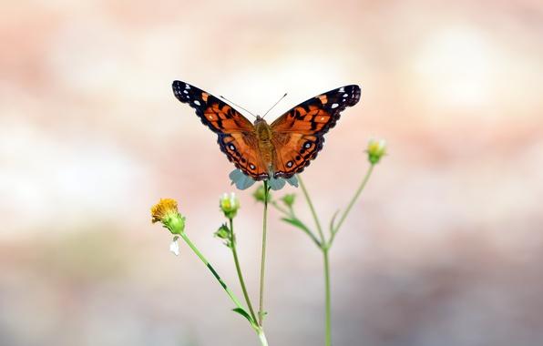Картинка стебли, бабочка, крылья, бутоны, усики, wings, butterfly, боке, bokeh, buds, antennae, stalks, open wings, открытые …