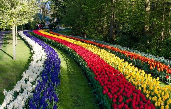 Картинка цветы, парк, тюльпаны, Нидерланды, Netherlands, Keukenhof, гиацинты, Кёкенхоф, Lisse, Лиссе