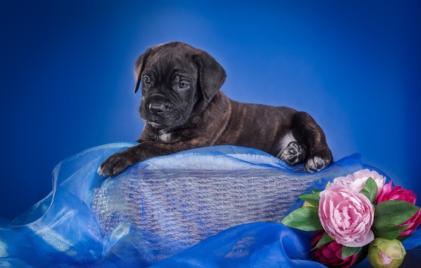 Картинка цветы, корзина, щенок, ткань, кане-корсо
