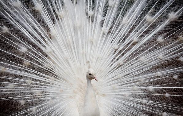 Картинка белый, перья, павлин
