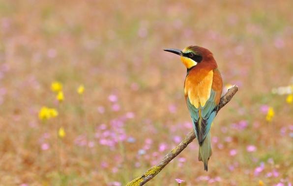 Картинка цветы, птица, щурка золотистая, пчелоед