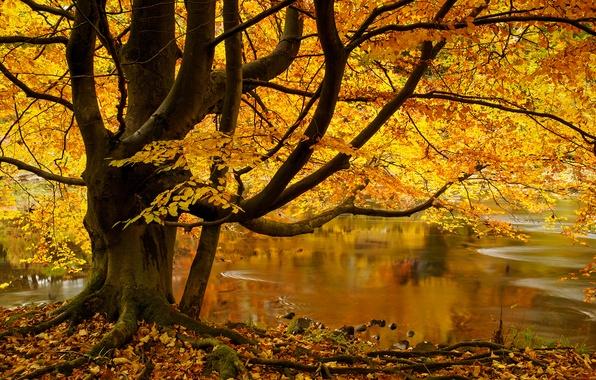 Картинка осень, листья, река, дерево, Англия, England, Северный Йоркшир, Yorkshire Dales, North Yorkshire, Йоркшир-Дейлс, Strid Wood, …