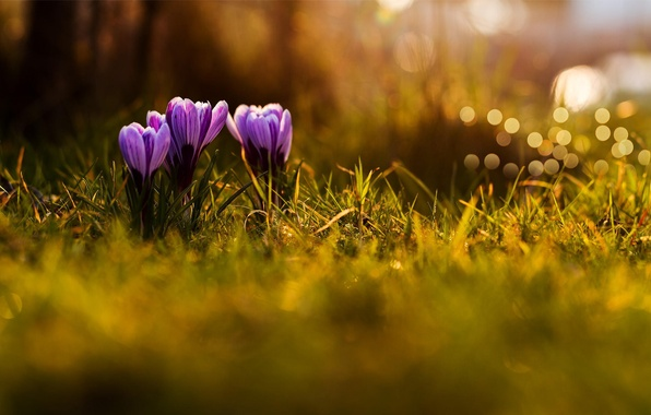 Картинка трава, макро, цветы, природа, весна, фиолетовые, крокусы, сиреневые, боке