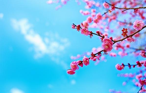 Картинка небо, дерево, ветка, весна, сакура, цветение