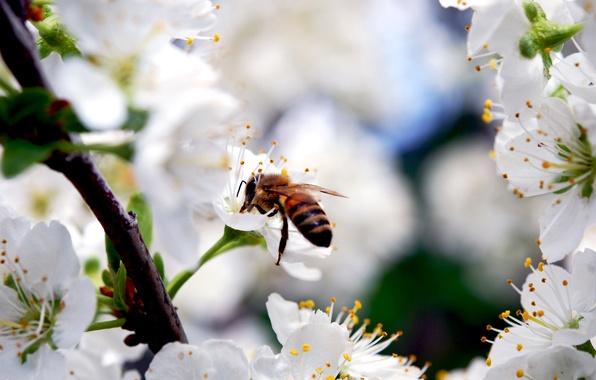 Картинка цветы, природа, вишня, пчела, красота, ветка, весна, лепестки, насекомое, белые, цветение