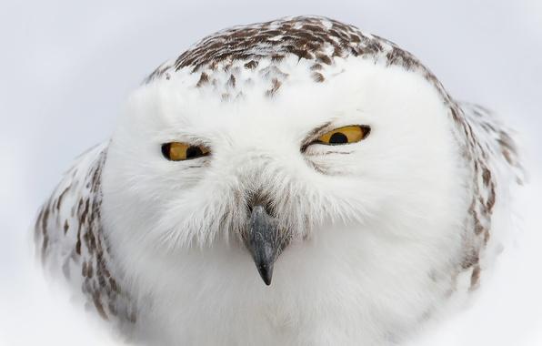 Картинка морда, сова, птица, белая, полярная