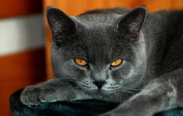 Картинка кот, британский, желтые глаза, серый окрас