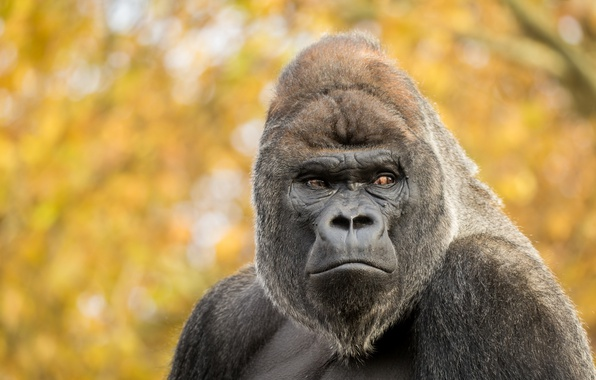 Картинка взгляд, обезьяна, Gorilla