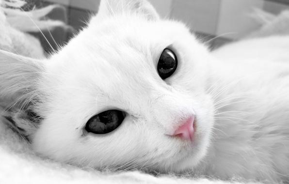 Картинка кошка, кот, морда, белая, лежа