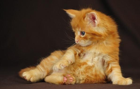 Картинка котенок, рыжий, сидит, мейн кун