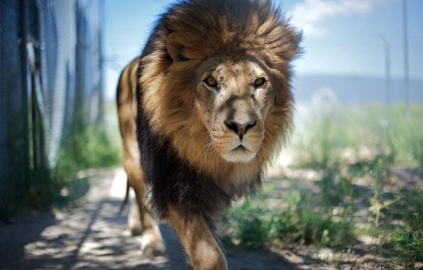 Картинка животное, лев, царь, зверь, смотрит, animal, идёт