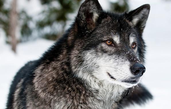 Картинка зима, взгляд, морда, снег, природа, волк, хищник