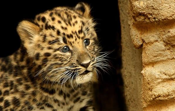 Картинка животные, усы, взгляд, морда, фон, обои, пятна, леопард, wallpapers