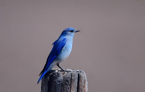 Картинка Птица, пенек, птичка, синяя