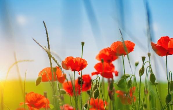 Картинка поле, лето, небо, трава, цветы, природа, Маки